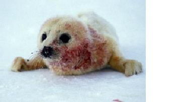 В Архангельской области отменен кровавый забой детенышей тюленя picture