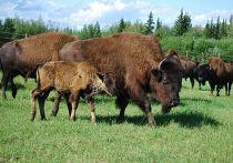 Канадские лесные бизоны в питомнике Якутии