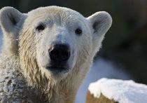 Белый медведь Кнут, за несколько лет ставший настоящим символом Берлинского зоопарка, умер 19 марта по неизвестным причинам