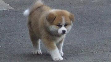собака породы акита фото