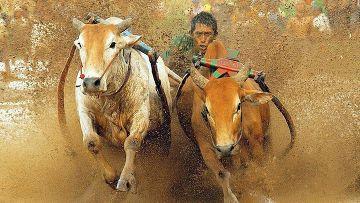 Коровьи гонки Pacu Jawi