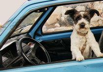 Собака за рулем автомобиля