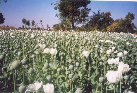 Опиумные плантации в Индии