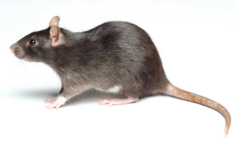 Крыса мужчина секс