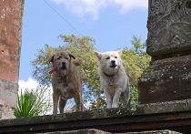 Собаки на Бали