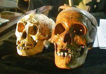 Череп флоресского человека (слева) и современного человека