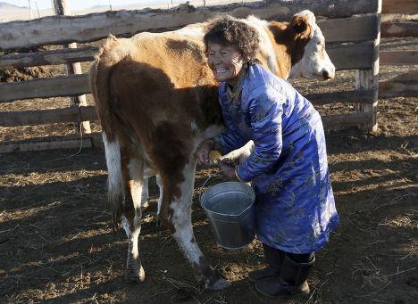 Сендин Ондар доит корову на своей ферем рядом с озером Чедер в Тыве