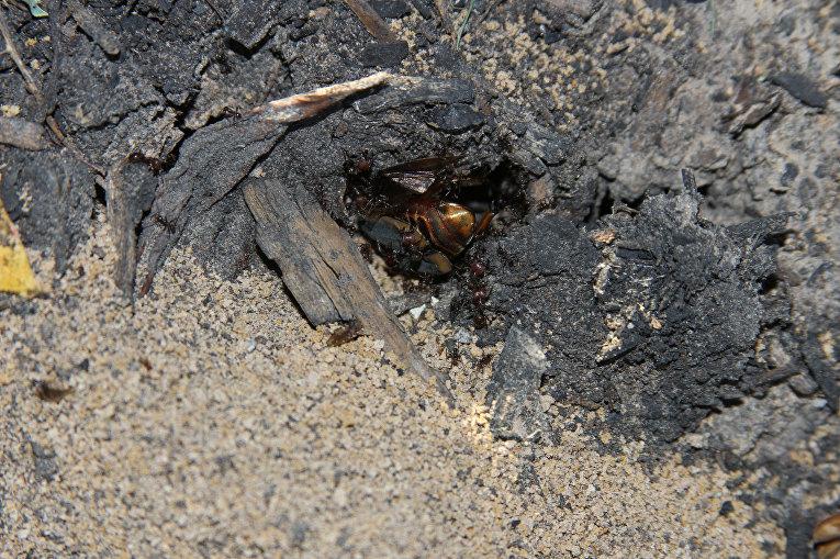 Муравьи Pheidole dentata