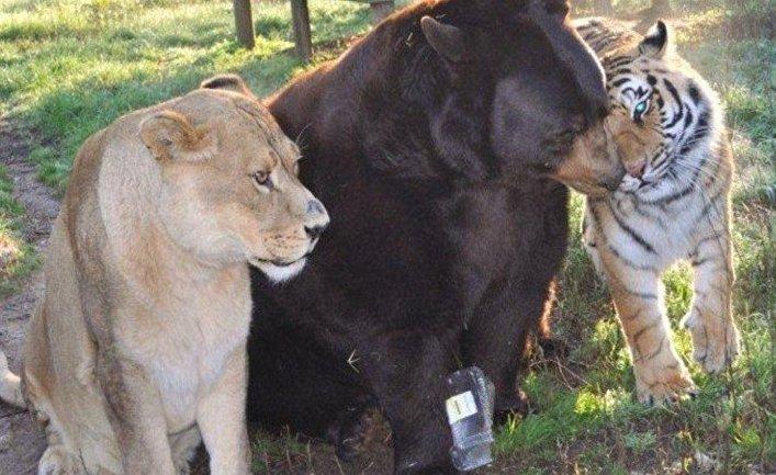 Медведь Балу, лев Лео и тигр Шерхану в приюте для животных «Noahs Ark» в штате Джорджия