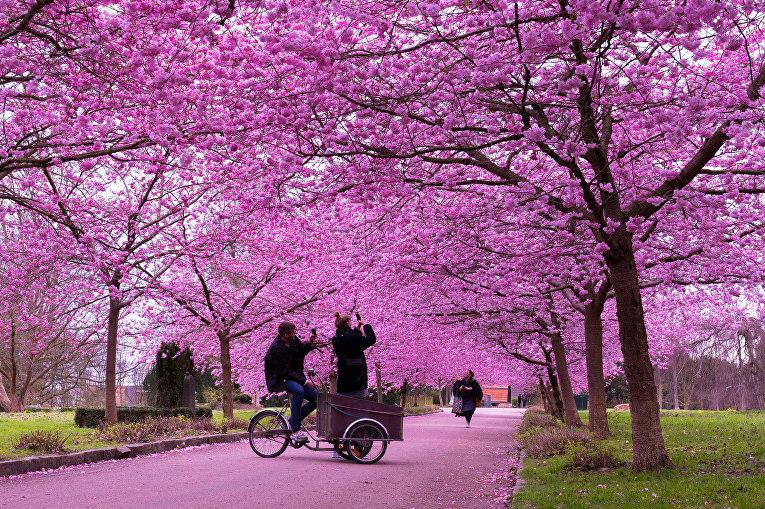 Цветение вишни в Копенгагене