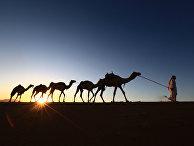 Житель города Табук ведет верблюдов по пустыне