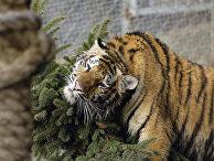 Тигрица Маша, подаренная Владимиру Путину на День рождения