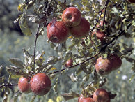 Яблоневый сад после дождя