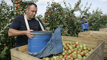 Сбор урожая яблок в Польше