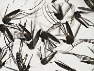 Комар Aedes albopictus - переносчик вируса Зика