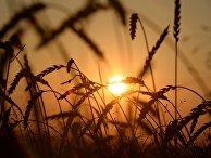 Уборка урожая зерновых в Новосибирской области