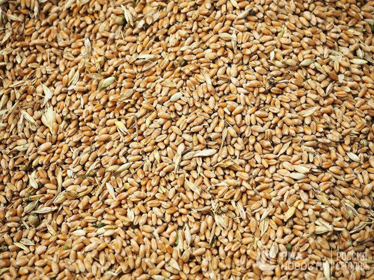 Зерна пшеницы, собранные в Краснодарском крае