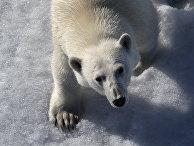 Белый медведь в Северном Ледовитом океане