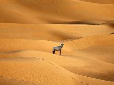 Аравийский Орикс в пустыне в ОАЭ
