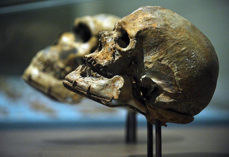 Череп Homo Sapiens в сравнении с черепом неандертальца