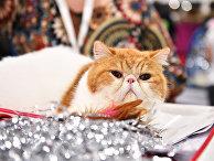 Кошка породы экзотическая короткошерстная