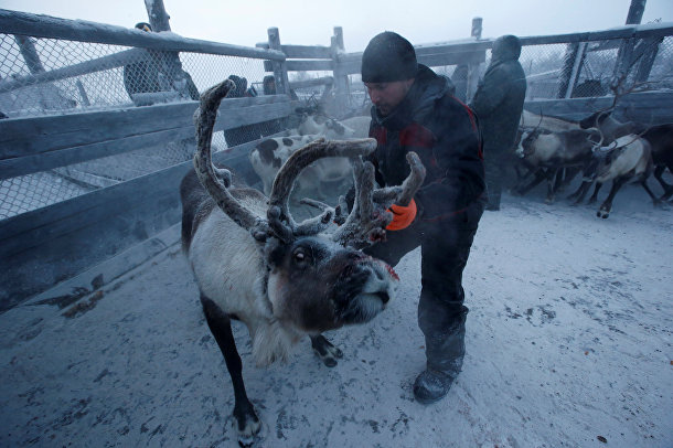 Оленеводство в русской в Арктике
