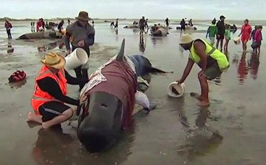 Спасение китов в Новой Зеландии