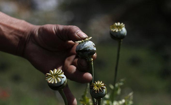 Цветок мака на ферме по производству опиума в Мексике