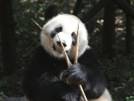 Большая панда в Научно-исследовательском центре разведения панд города Чэнду в Китае