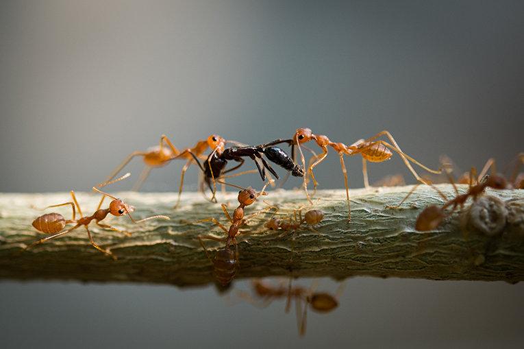 Битва муравьев