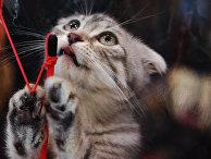"""Кошка породы шотландская вислоухая на выставке """"Кэт-Салон-Февраль"""" в Москве"""