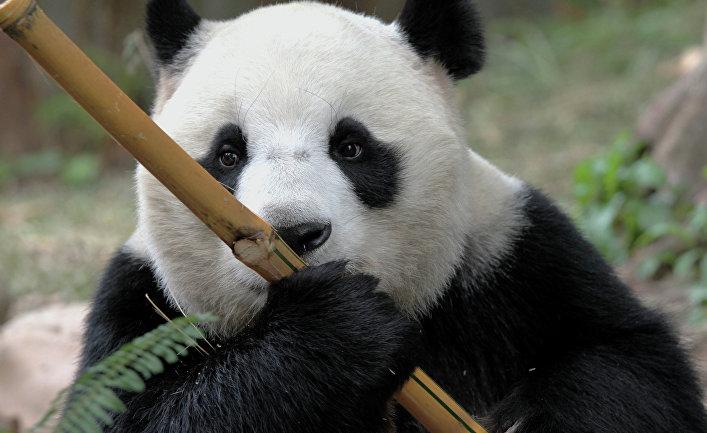 Панда в сафари-парке Chimelong Safari Park