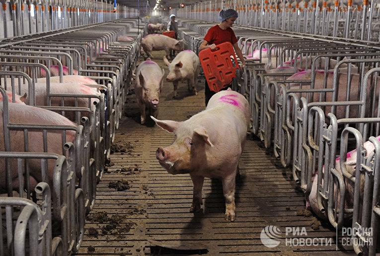 Свинокомплекс в Челябинской области