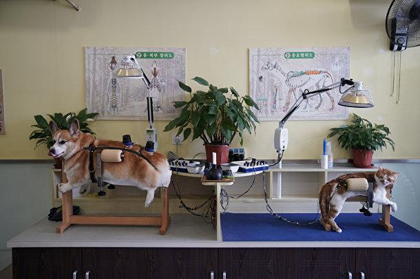 Лечебные процедуры в Шанхайском неврологическом и акупунктурном оздоровительном ветеринарном центре