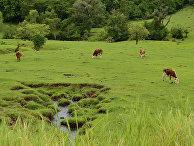 Пасущиеся коровы в провинции Мисьонес, Аргентина