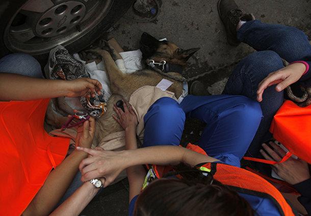 Волонтеры помогают восстановиться собаке-спасателю в районе Сьюдад-Хардин, Мехико