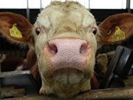 Корова на государственной опытной станции Баварского сельскохозяйственного ведомства близ Мюнхена