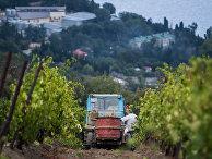 Сбор урожая на виноградниках винодельческого завода «Массандра» в Крыму